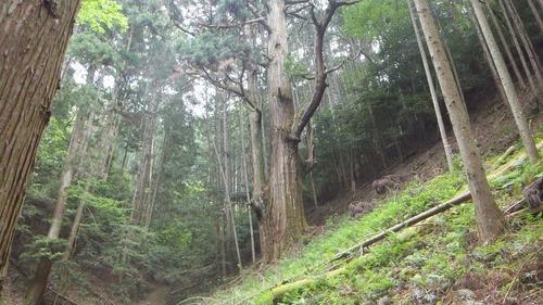 胎金寺山口奥の天狗杉2