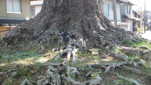 津島神社御旅所の銀杏 4