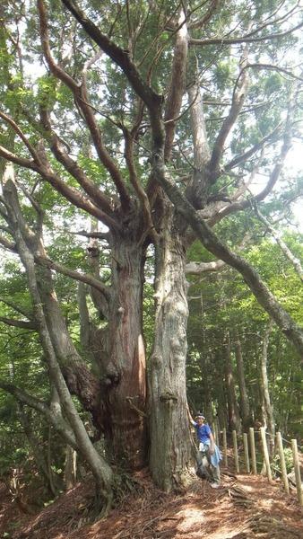 花脊の天然伏条台杉 8
