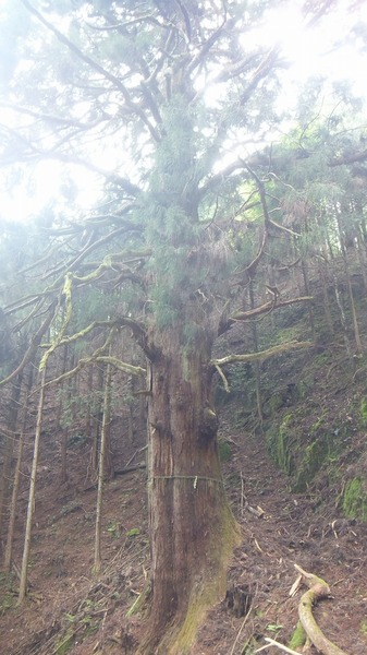 胎金寺山口の天狗杉2