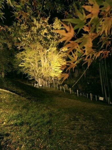 菩提寺のイチョウ 黄葉バージョン 10