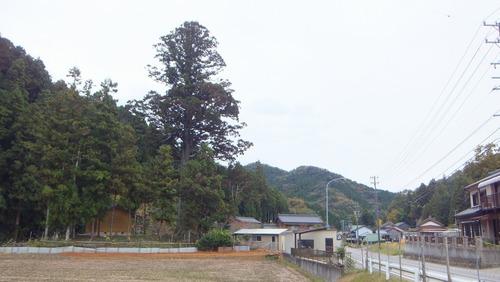 夏山の大杉 12