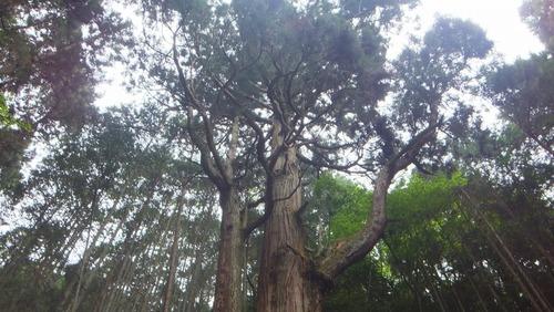 胎金寺山口奥の天狗杉6