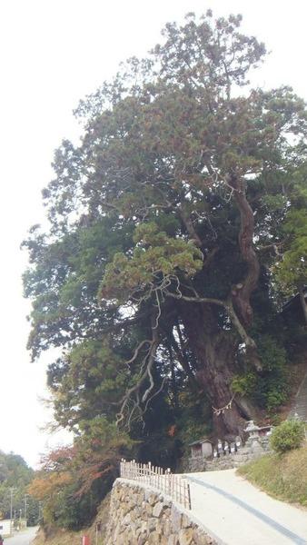 堂庭のスギ(千年杉) 14