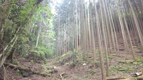 胎金寺山口の天狗杉9