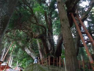 八つ房杉 1