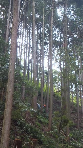大阪府産 ヒノキ3