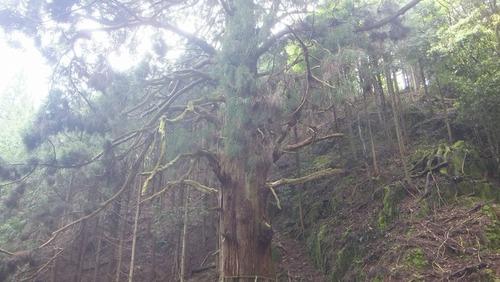 胎金寺山口の天狗杉3