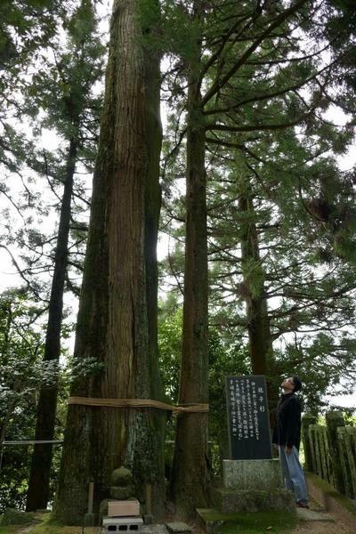 諭鶴羽神社の親子杉とアカガシ群落20