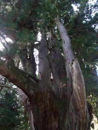 杉の大杉 8