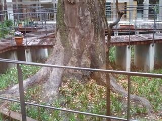 中庭の樟株 2