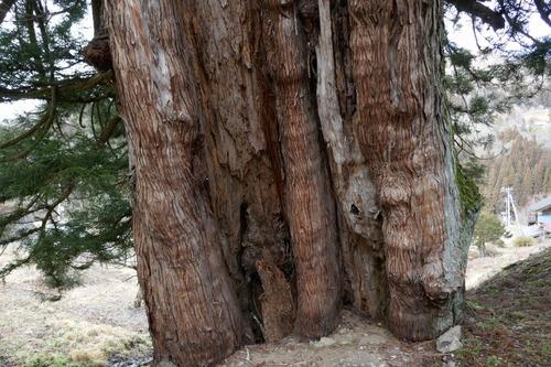 臥雲の三本杉 7