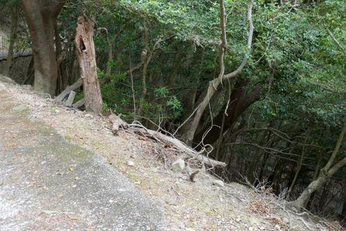 諭鶴羽神社の親子杉とアカガシ群落28