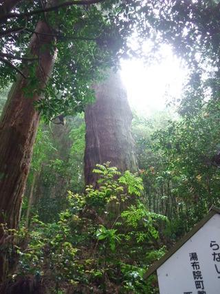 大杵社の大杉 7