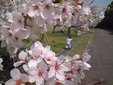 大阪万博の桜