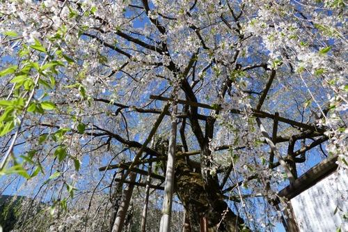 宝蔵寺の枝垂桜