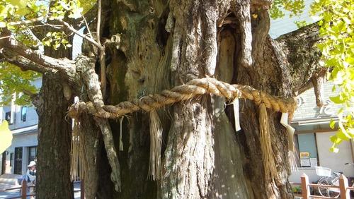 津島神社の大イチョウと奥の銀杏 10