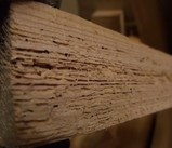 ケヤキ被害木 5