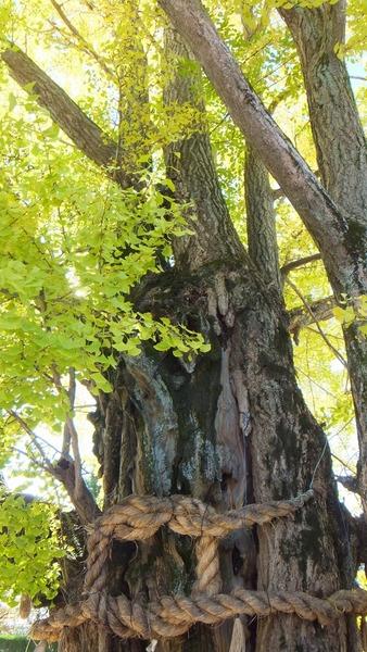 津島神社の大イチョウと奥の銀杏 3