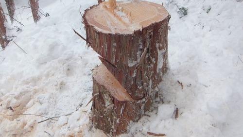 伐採実習14