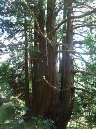 高井の千本杉 10
