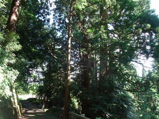 高井の千本杉 2