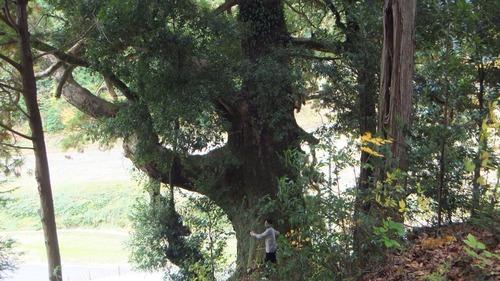 堂庭のスギ(千年杉) 4