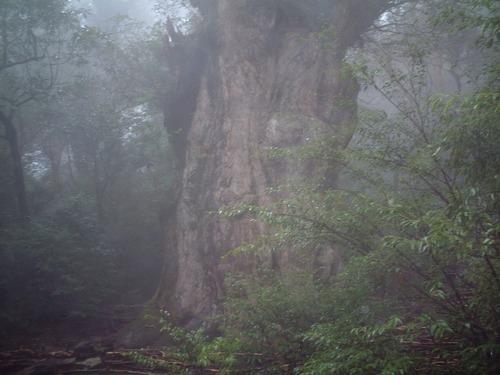27縄文杉3