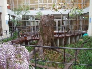 中庭の樟株 4