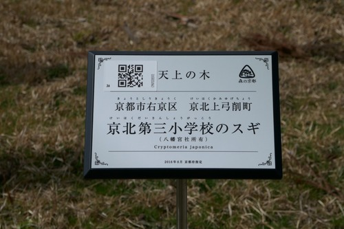 京北第三小学校のスギ(八幡宮社の大杉) 2