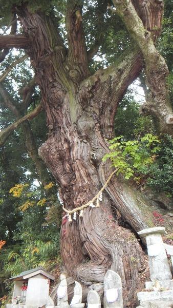 堂庭のスギ(千年杉) 7