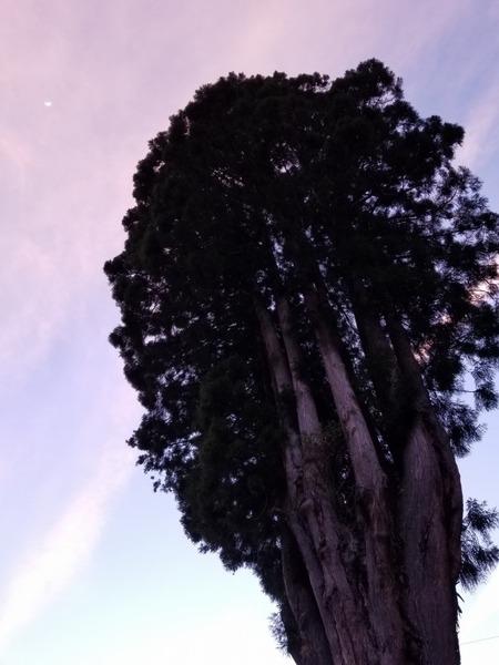 吉沢の田高杉6
