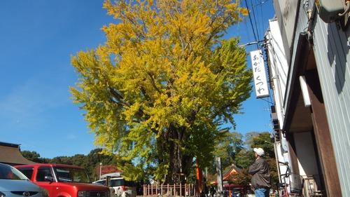 津島神社の大イチョウと奥の銀杏 9