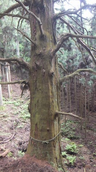 胎金寺山口の天狗杉8