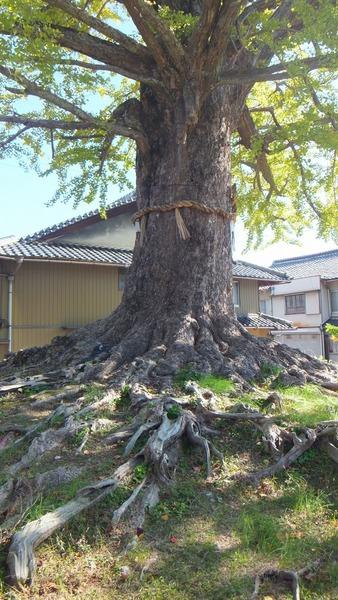 津島神社御旅所の銀杏 3
