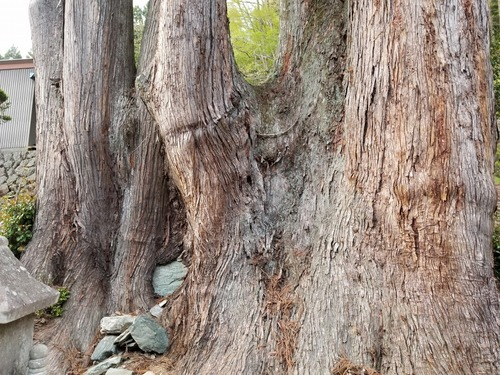 吉沢の田高杉4