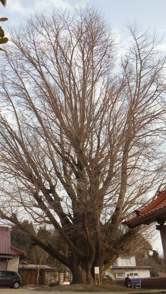 浄善寺の銀杏 3