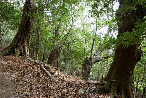 諭鶴羽神社の親子杉とアカガシ群落25