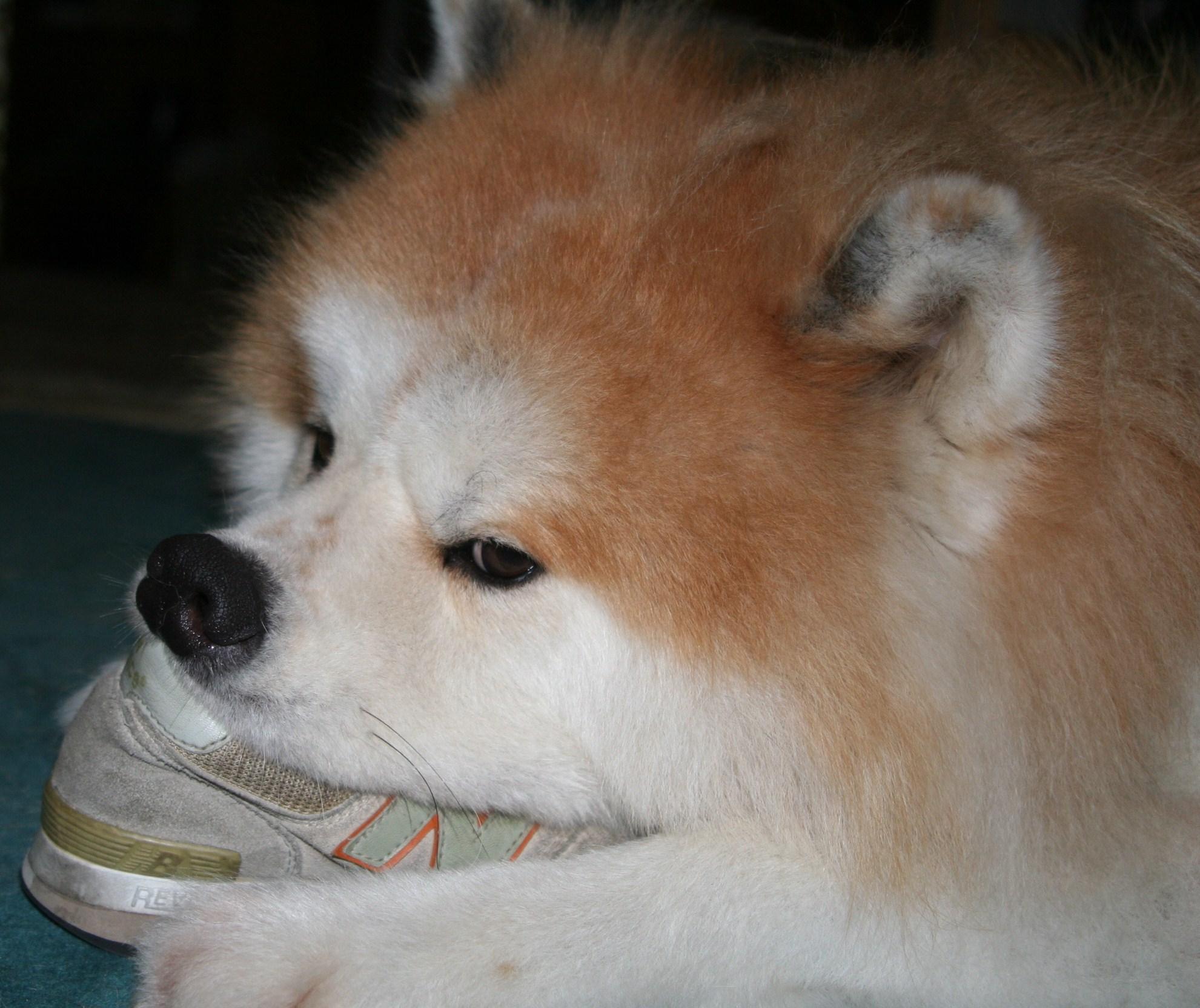秋田犬の画像 p1_11