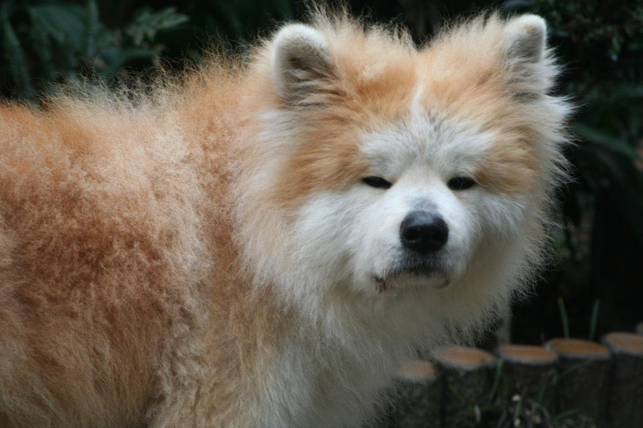 秋田犬の画像 p1_7