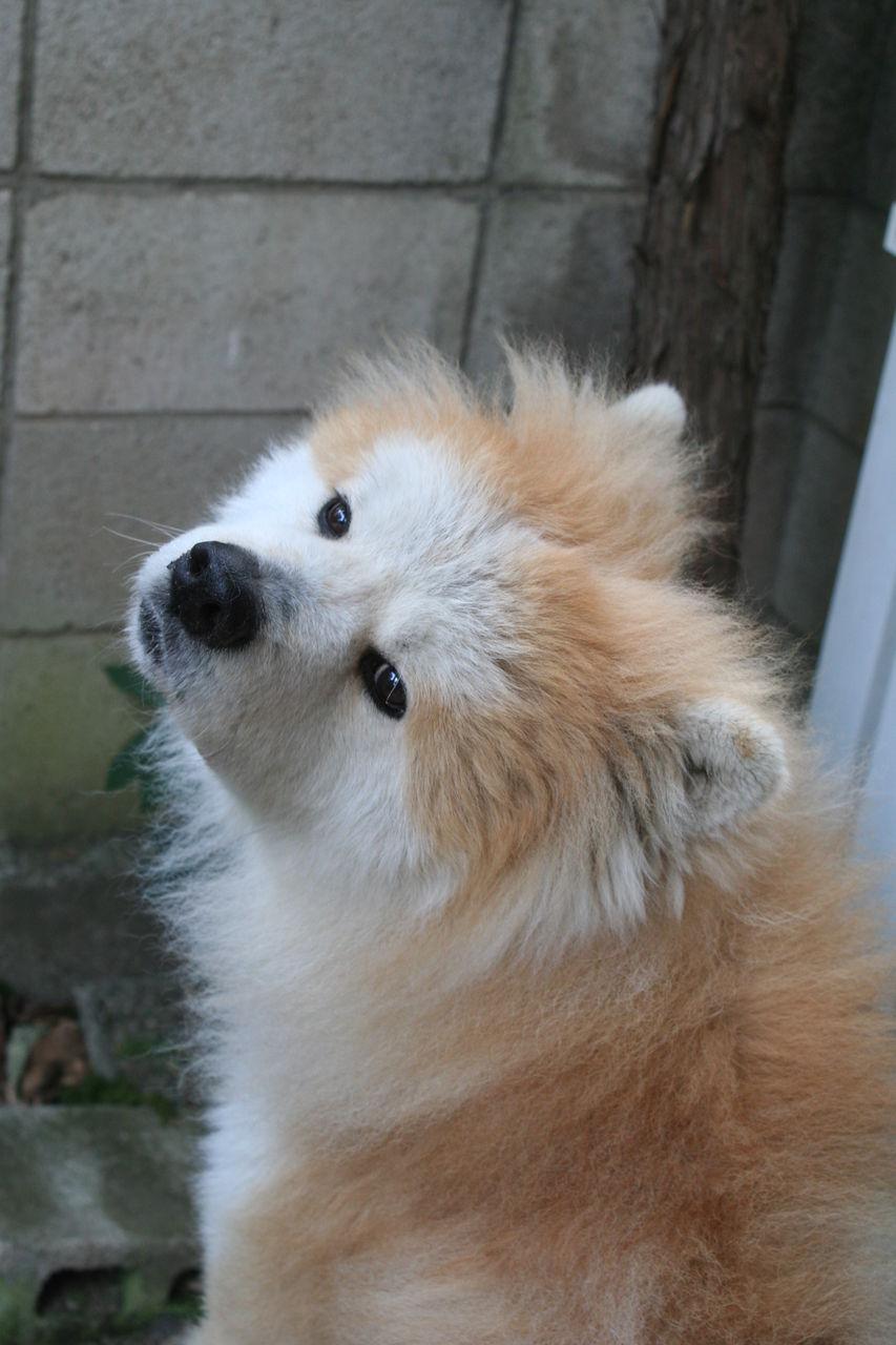 秋田犬の画像 p1_9