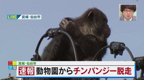 チンパンジー脱走