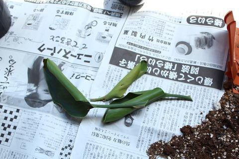 ストレリチア ニコライ 古い葉 切る