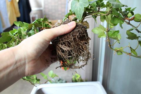 ヘデラ 植え替え中 根をほぐす