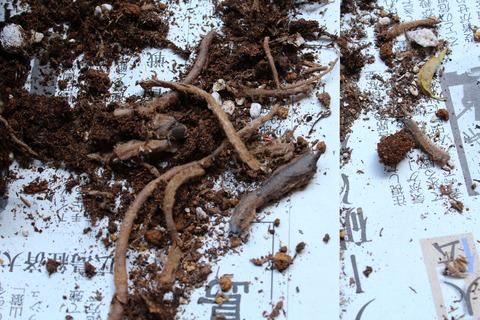 ストレリチア ニコライ 根詰まり 傷んだ根