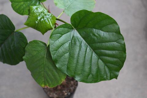 ウンベラータ 大きな葉