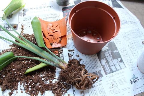 ストレリチア ニコライ 根詰まり 植え替え