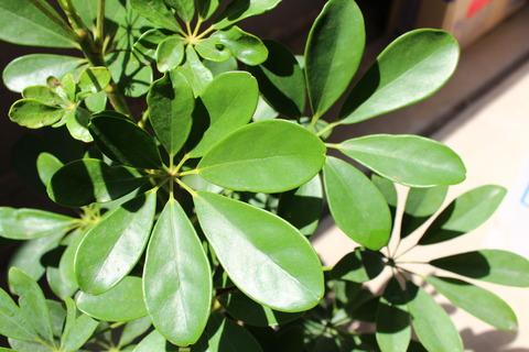 シェフレラ 成長した葉は緑