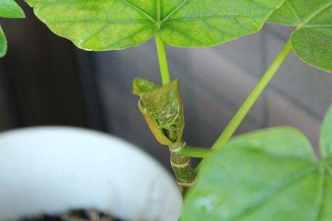 ウンベラータ 新芽でてます