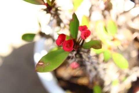 ハナキリン 赤い部分は実は花じゃないんです